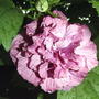 Double pink Rose of Sharon (Hibiscus syriacus)
