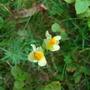 Wild_flowers_in_bosham_290808