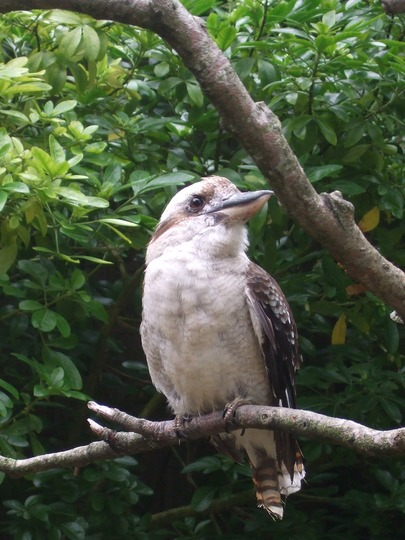 Kookaburra - for Marguerite!