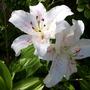 Lilium species (Lilium species)