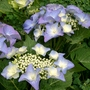 Hydrangea macrophylla