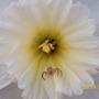 Spider in my Daffodil