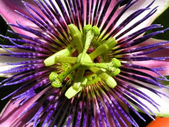 Passionflower . . .  (Passiflora)