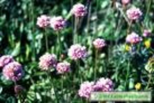 Armeria Maritima (Pink)