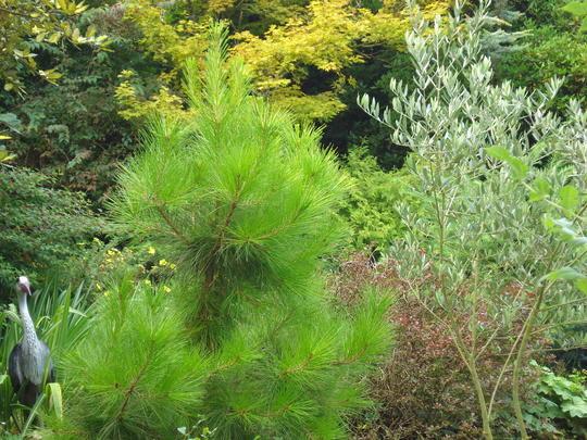 Monterey Pine. Dwarf variety (Pinus radiata)