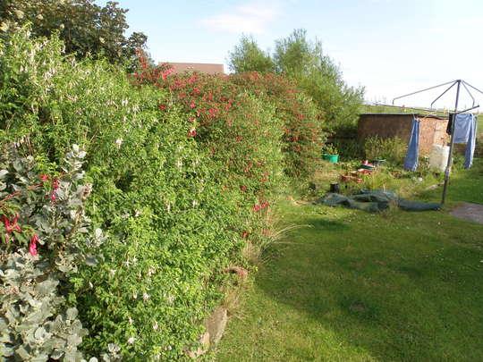 fuchsia hedgerow