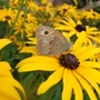 Butterfly_on_rudbeckia