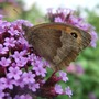 Butterfly_on_verbena_bon.