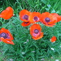 just love these poppy's  taken before I moved