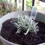 Lavandula angustifolia (Lavandula angustifolia)