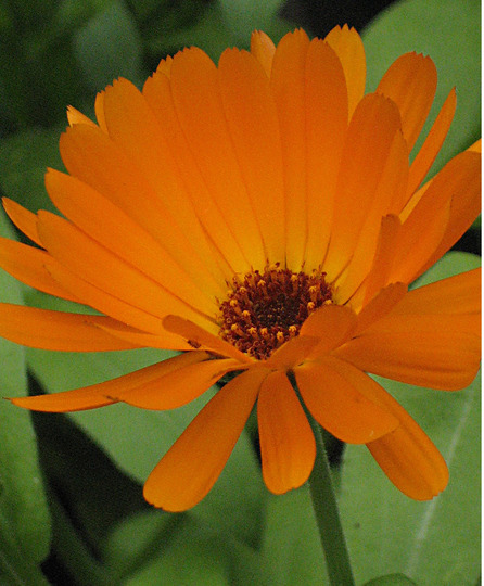 Orange Calendula (Calendula officinalis (English marigold))