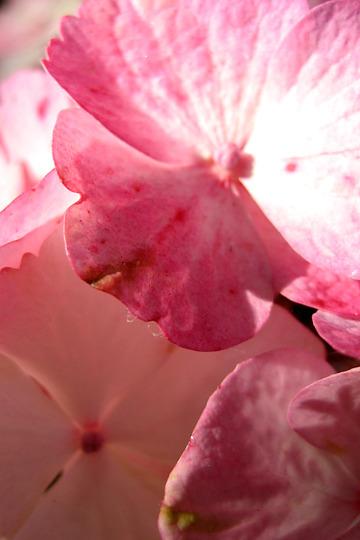 hydrangea - really up close! (hydrangea)