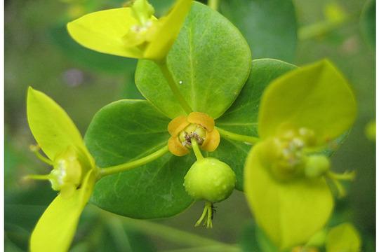 Euphorbia close-up (Euphorbia amygdaloides (Wood spurge))