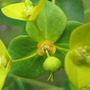 Euphorbia close-up (Euphorbia amygdaloides (Wood spurge))