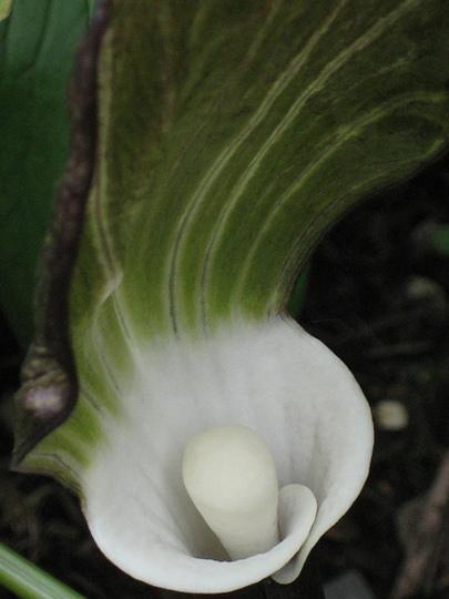 Exotic and erotic arisaema! (Arisaema triphyllum (?) (Jack-in-the-pulpit))