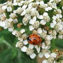 Achillea and ladybird (Achillea)