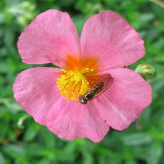 Rock Rose (Helianthemum)