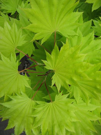 Fresh green Maple! (Acer palmatum (Japanese maple))