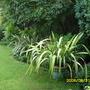 Phormium tenax [New Zealand Flax]
