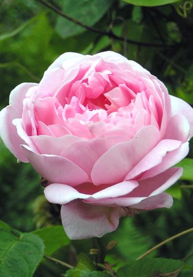 Constance Spry (Rosa multiflora (Rose))