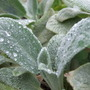 Stachys leaves today. (Stachys byzantina (Lambs' ears))