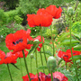 View down the garden through the poppies.... (Papaver orientale (Oriental poppy))