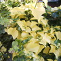 Hedera_helix_buttercup