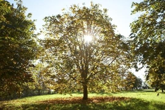 Chestnut in Autumn (Aesculus hippeastrum)