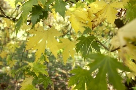 Acer Cappadoccicum (Acer cappadocicum)