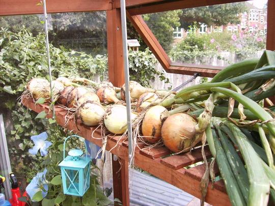 Onions on the greenhouse shelf...