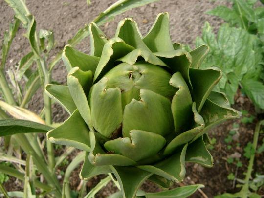artichoke (Cynara cardunculus (Globe Artichoke))