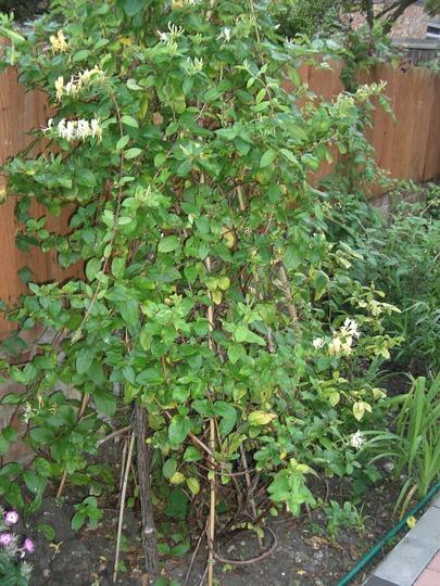 A garden flower photo (Banksia marginata (Honeysuckle))