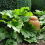 rhubarb with forcer