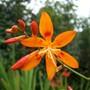 Crocosmia Aurea 'Maculata'
