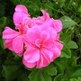 A garden flower photo (pelargoniums)