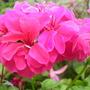 A garden flower photo (pelargoniums)