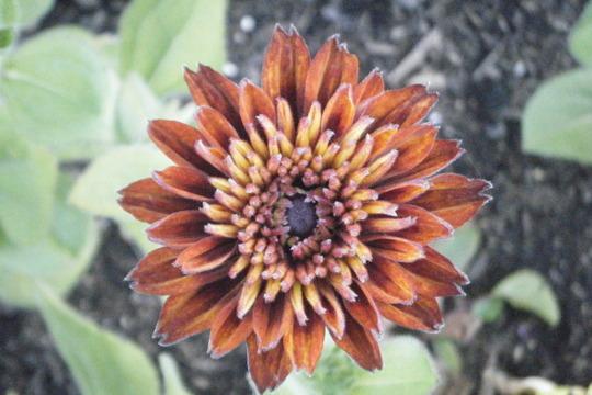 Cherokee Sunset (Rudbeckia hirta (Black-eyed Susan))