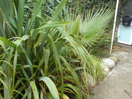 newzealand flax