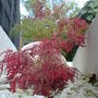 my acers in the planter
