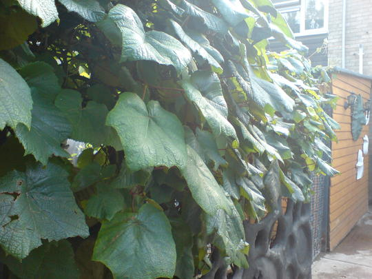 my ornimental grape vine a stunning plant