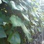 my ornimental grape vine a stunning plant