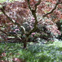 Beautiful Prunus in wild garden.