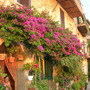 Bougainvillea and Romeo's mum