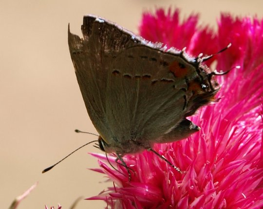 Butterfly on Cockscomb