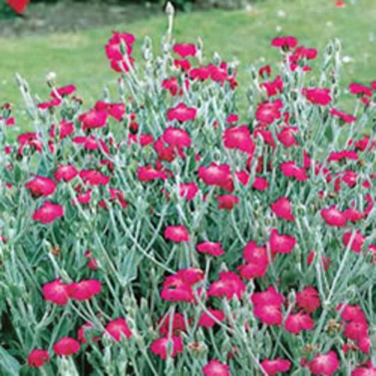 Rose campion (Lychnis coronaria (Rose campion))
