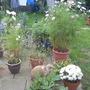 Garden_29th_august_2008_086