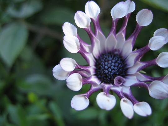 Osteospermum 'Philip'
