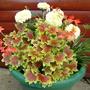 Geranium Vancouver Centennial and Marigold Vanilla