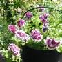 Posy of Pretty Purple Petunias!