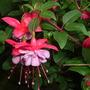 Fuchsia Heidi Ann